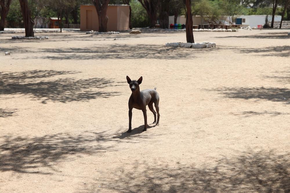 Der peruanische Nackthund