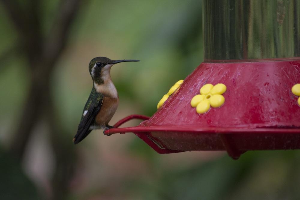 moyobamba_kolibri_peru