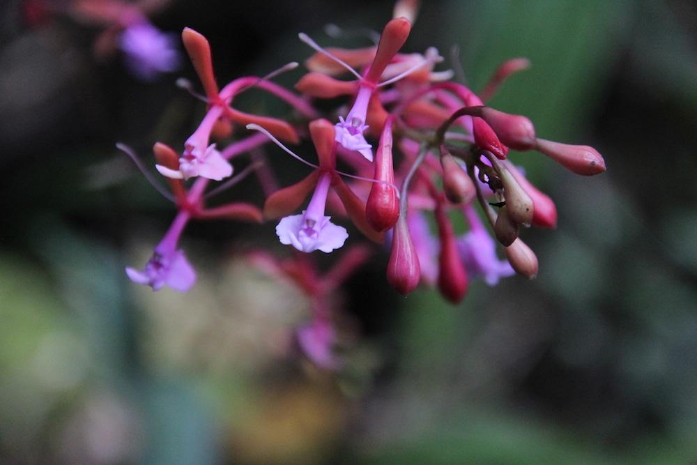 orchideen_cuispes_chachapoyas_region_amazonas_peru