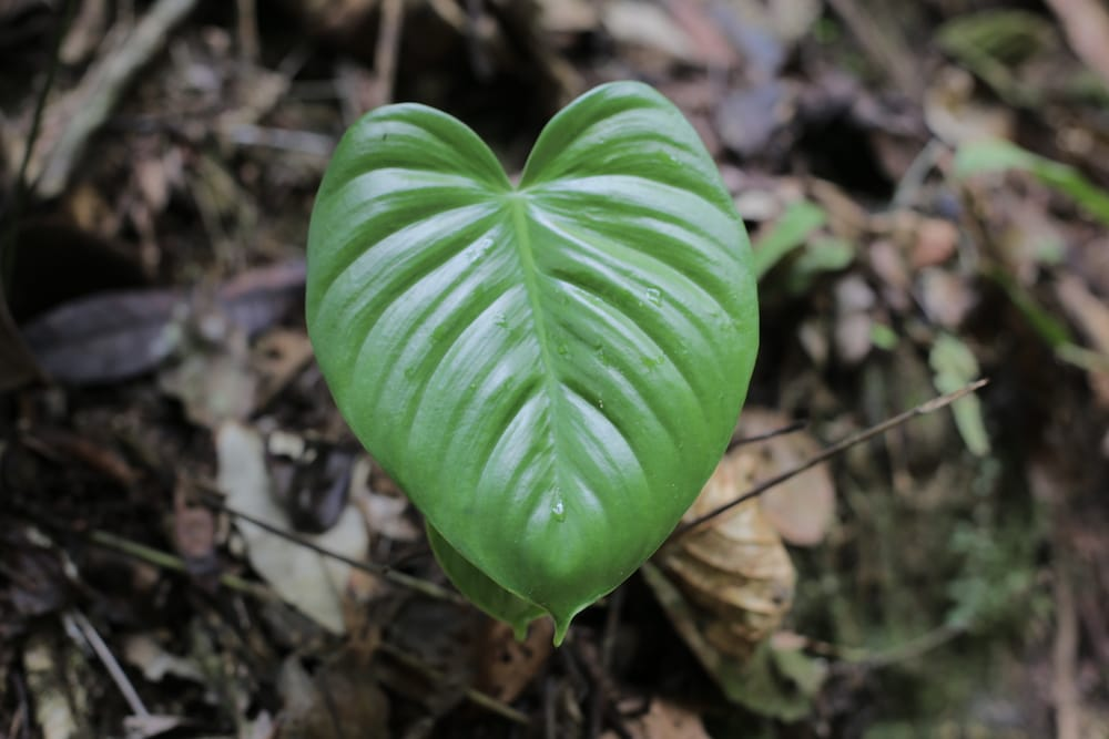 pflanze_tarapoto_nordperu_regenwald_peru_reisen