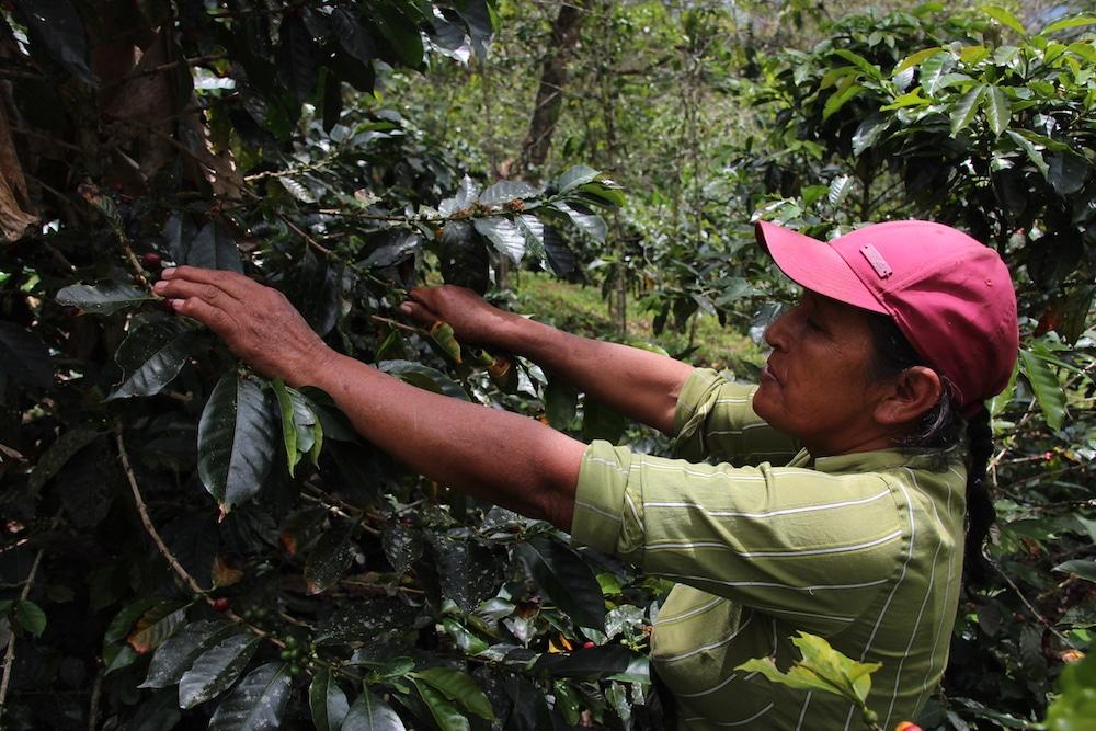 plantage_cuispes_chachapoyas_region_amazonas_peru