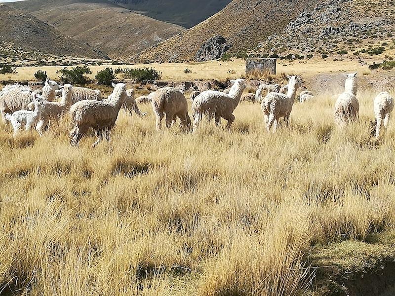 Lamas und Alpakas in den peruanischen Anden